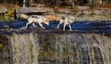 180 Kettle River Wolves 8.jpg