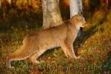 181 Lynx 1.jpg