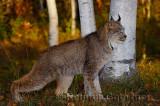 181 Lynx 3.jpg