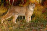 181 Lynx 6.jpg