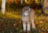 181 Lynx 7.jpg