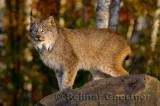 181 Lynx 11.jpg