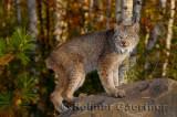 181 Lynx 12.jpg