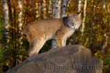 181 Lynx 13.jpg
