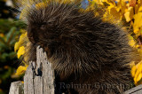 181 Porcupine 1.jpg