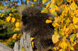 181 Porcupine 3.jpg