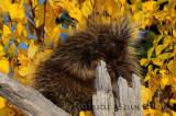 181 Porcupine 5.jpg