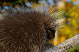 181 Porcupine 7.jpg