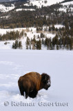 191 Soda Butte Bison 1.jpg