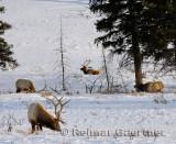 193 Bull Elk 4.jpg