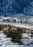 193 Pronghorn Antelope 3.jpg