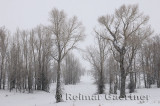 196 Birch Trees in Snow.jpg