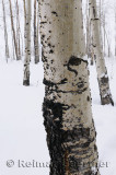 196 Birch Trunks in Snow 2.jpg