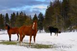 196 Moose and Horses 2.jpg