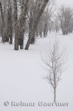196 Young Birch in Snow.jpg