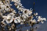 198 Magnolia Leobneri Merrill.jpg