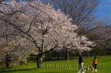198 Blooming Cherry Tree.jpg