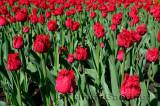 199 Barbados Tulip.jpg