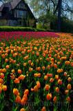 199 Blushing Apeldoorn and Attila Tulips 1.jpg