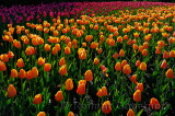 199 Blushing Apeldoorn and Attila Tulips 2.jpg