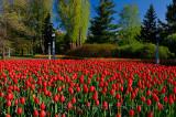 199 Canadian Liberator Tulip garden.jpg
