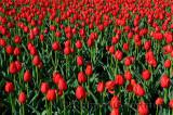 199 Canadian Liberator Tulips.jpg