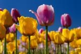 199 Garant and Ollioules Tulips 2.jpg