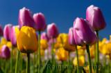 199 Garant and Ollioules Tulips 3.jpg