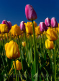 199 Garant and Ollioules Tulips 4.jpg