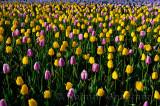 199 Garant and Ollioules Tulips 5.jpg