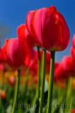 199 Gordon Cooper Tulip 1.jpg