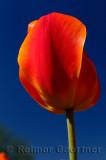 199 Gordon Cooper Tulip 4.jpg