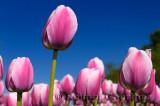 199 Ollioules Tulips 1.jpg