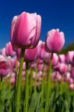 199 Ollioules Tulips 2.jpg