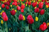 199 Red Impression and Washington Tulips 1.jpg