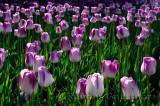 199 Shirley Tulips.jpg