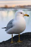 197 Gull at Niagara Falls.jpg