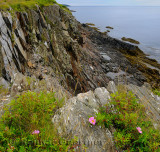Wild rose on top of the sea cliffs at Smugglers Cove Provincial Park Nova Scotia