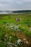 Stray holstein cow near Overton with Yarmouth across the harbour Nova Scotia