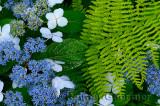 Hydrangea Serrata Blue Billow with Hay sented Fern at Annapolis Royal Historic Gardens