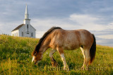 Grazing Clydesdale horse and church at Highland Village Museum at Iona Cape Breton