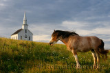 Clydesdale horse standing in field with church at Highland Village Museum at Iona Cape Breton