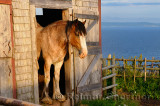 Clydesdale horse at barn door at sundown over Bras dOr Lake at Highland Village Museum Iona NS