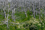 Dead gray evergreen trees and green Meadow Rue at Arches Provincial Park Newfoundland