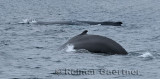 Female humpback whales one showing hump at Twillingate Newfoundland showing dorsal fin and tail