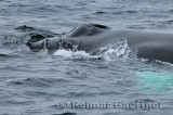Close up of a female humpback whale blowhole rostrum and tubercles near Twillingate Newfoundland