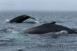 Close up of two female humpback whales traveling at Twillingate Newfoundland showing dorsal fin and tail