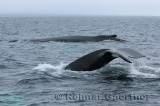 Two female humpback whales traveling at Twillingate Newfoundland showing dorsal fin and tail