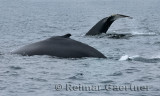 Two female humpback whales at Twillingate Newfoundland showing dorsal fin and tail