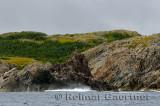 Seagull on a jagged spire on the rocky Atlantic coast of Twillingate Island Newfoundland